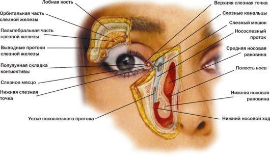 Схема слезного аппарата человека